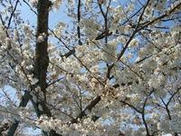 摂津峡桜公園の桜①.JPGのサムネール画像